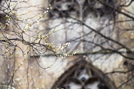 spring blossom and medieval wall of Cluny mansion, Paris photo