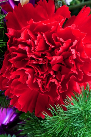 head close up: fresh red dianthus flower head close up Stock Photo