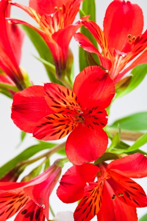 flower bouquet from several red alstroemeria isolated on white background photo