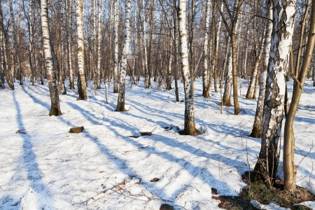morning in snow covered spring birch forest photo