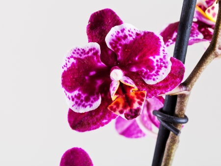 head close up: Orchid Phalaenopsis flower head close up