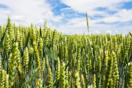rise above: ear of wheat rise above wheat field under blue sky Stock Photo