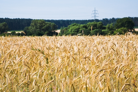 yellow wheat field under blue sky in Poland photo