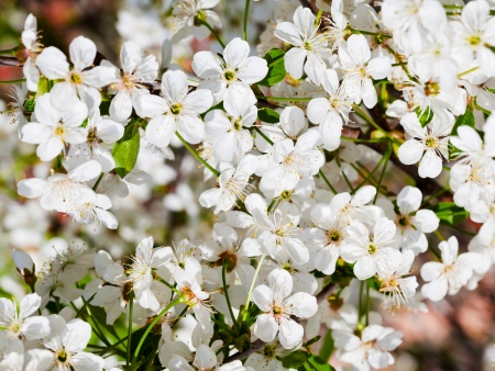 apple blossom: many flowers of cherry tree in spring