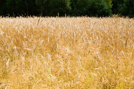 gold ripe rye ears close up in country field in Poland photo