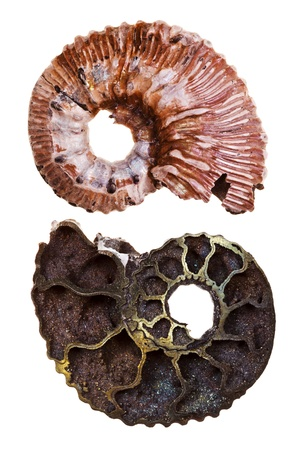 two sides of mineral fossil ammonite shell isolated on white background photo