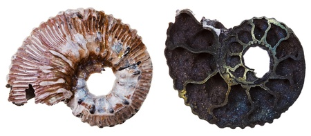 two sides of fossil ammonite shell isolated on white background photo