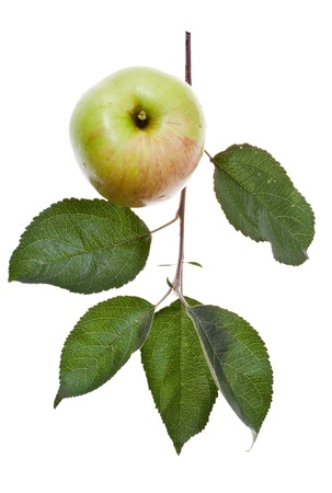 apple tree branch with green leaves and fresh apple isolated on white background photo