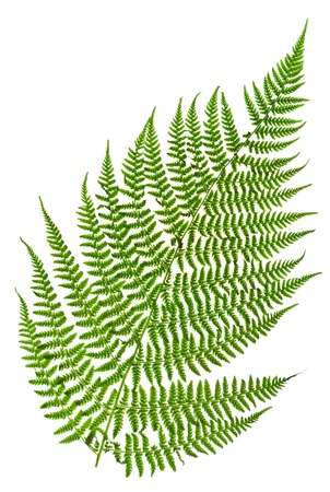 green sprig of fern isolated on white background photo