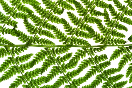 pattern of green sprig of fern isolated on white background photo