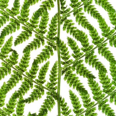 macro view of fern green sprig isolated on white background photo