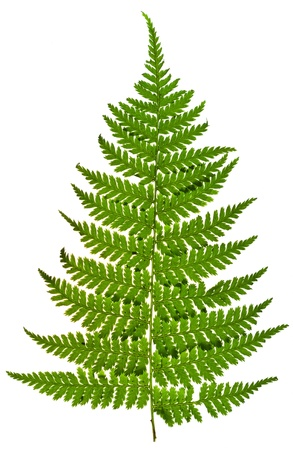 fern leaf isolated on white background photo