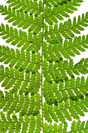macro view of green fern leaf isolated on white background photo