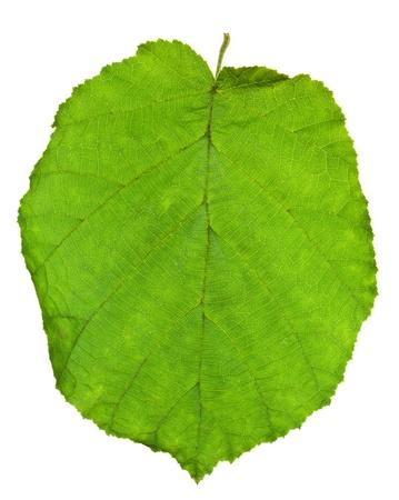 hazel tree: green leaf of hazel tree isolated on white background Stock Photo