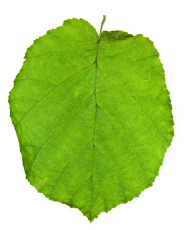 albero nocciola: verde foglia di albero di nocciola isolato su sfondo bianco