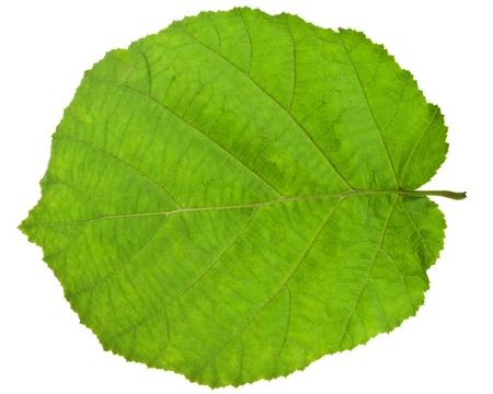 hazel tree: back side of green leaf of hazel tree isolated on white background