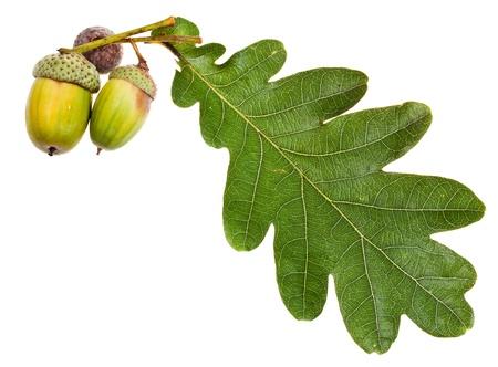 acorn seed: oak leaf and few acorns isolated on white background Stock Photo