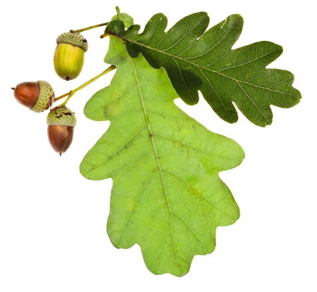 green oak leaves and acorns isolated on white background photo