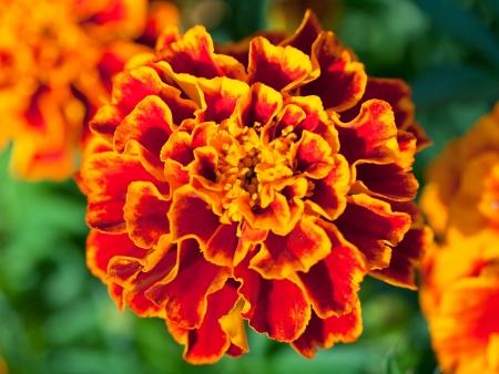 tagetes: decorative Tagetes flower close up