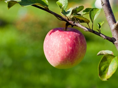 ripe pink apple in fruit orchard in summer photo