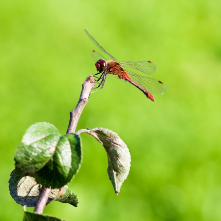 crocothemis: red dragonfly on tree branch in summer day Stock Photo
