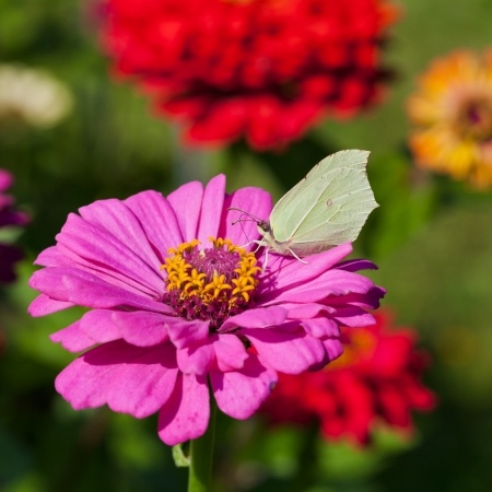 butterfly female imago Brimstone feed pollen on pink Zinnia flower close up photo