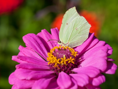butterfly female imago Brimstone eat nectar on pink Zinnia flower close up photo