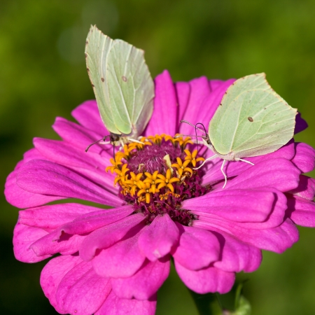 two butterflies Brimstone feed pollen on pink Zinnia flower close up photo