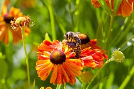 honey bee collects nectar from gaillardia flower close up photo