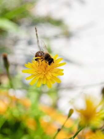 honey bee feed nectar from yellow flower of close up Stock Photo - 21515815