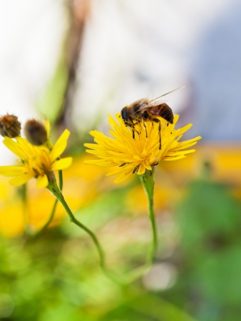 honey bee gather nectar from yellow flower of close up photo
