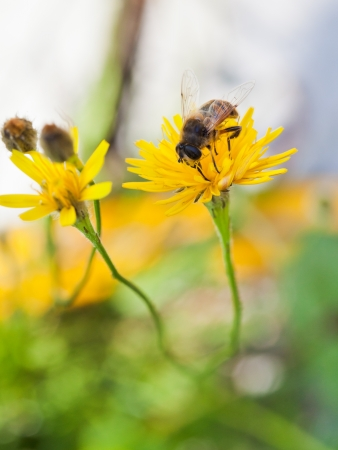 honey bee feed pollen from yellow flower of close up photo