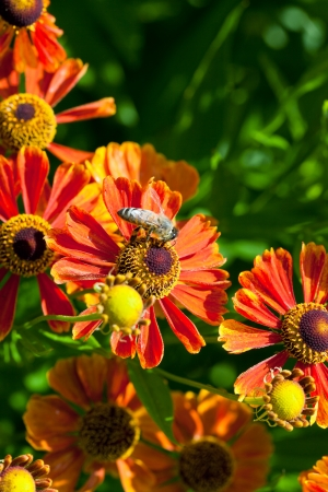 honey bee sips nectar from gaillardia flower close up in summer day Stock Photo - 21515821