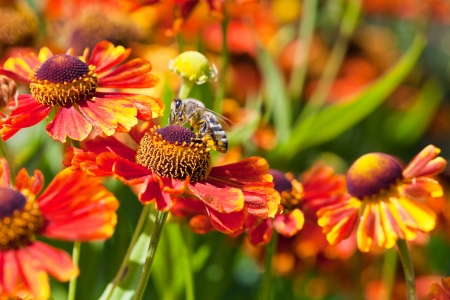 honey bee sips nectar from gaillardia flower close up in sunny summer day photo