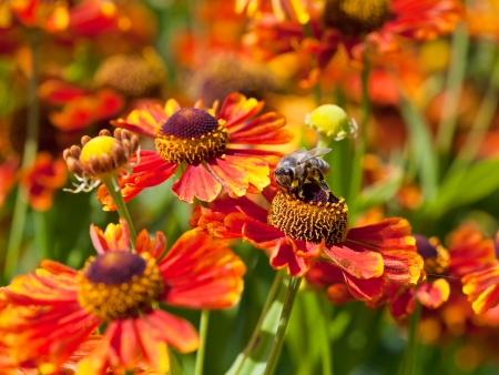 honey bee sips nectar from gaillardia flower macro shot photo
