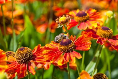honey bee sips nectar from gaillardia flower close up photo