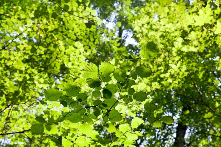 green forest leaves in sunlight in sunny wood photo