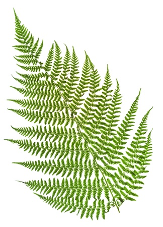one sprig of fern isolated on white background photo