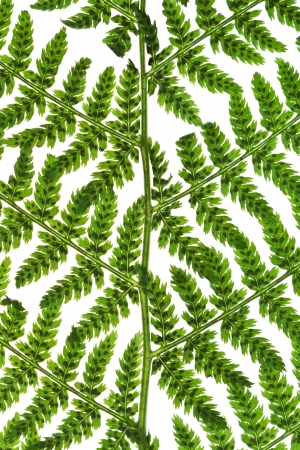 pattern of green twig of fern isolated on white background photo