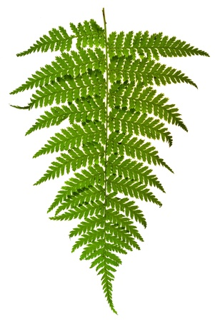 fresh fern leaf isolated on white background photo