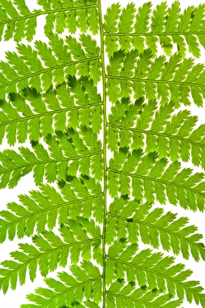 macro view of green fern leaves isolated on white background photo