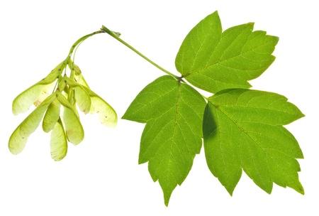 semillas y hojas verdes del árbol de ceniza aislados en fondo blanco