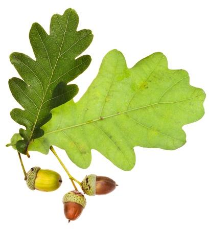 oak leaves and acorns isolated on white background photo