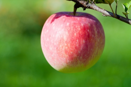 ripe pink apple close up in fruit orchard photo