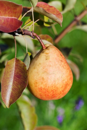 ripe yellow and red pear on tree in fruit orchard close up photo