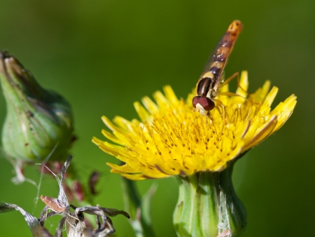 hoverfly sphaerophoria scripta eating pollen on yellow flower of Sonchus close up Stock Photo - 21682128