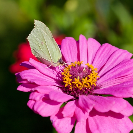imago: butterfly female imago Brimstone collect nectar on pink Zinnia flower close up