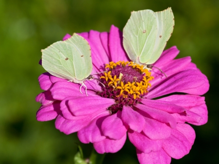feed up: two butterflies Brimstone feed nectar on pink Zinnia flower close up