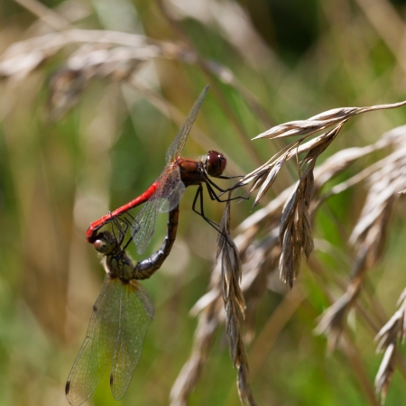 crocothemis: couple of red mating dragonflies on grass close up Stock Photo