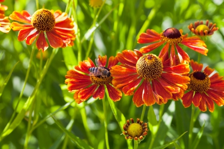 bee sips nectar from red gaillardia flower close up Stock Photo - 21682610